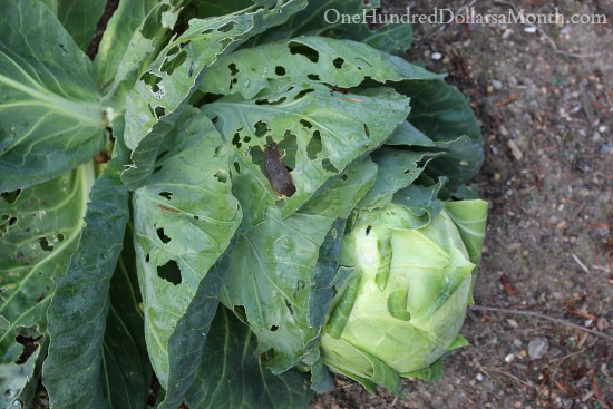 green cabbage with slugs