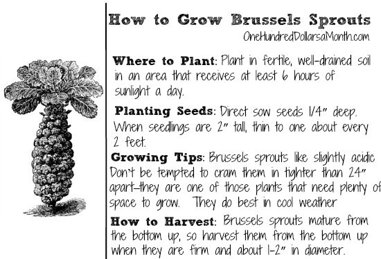 how-to-grow-Brussels-sprouts