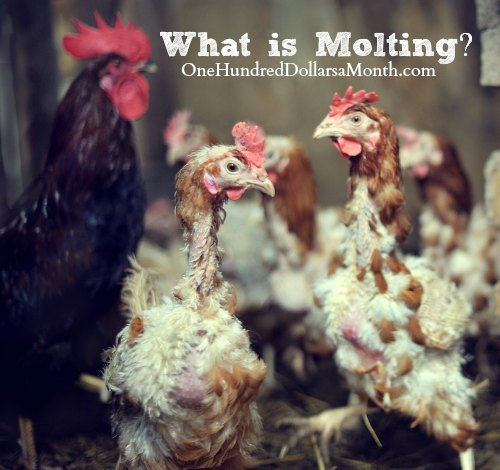 Chickens-What-is-Molting