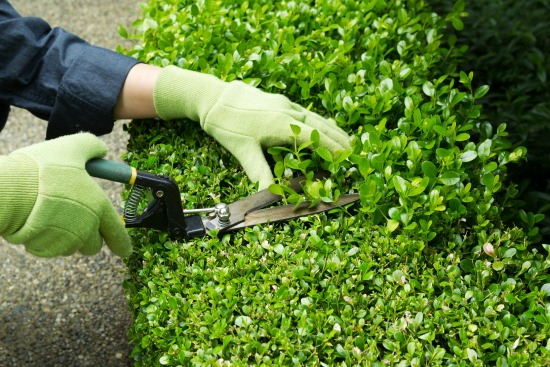 trimming boxwood hedge