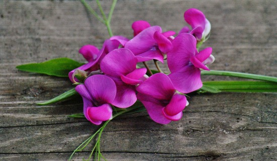 Growing Peas And Sweet Pea Flowers