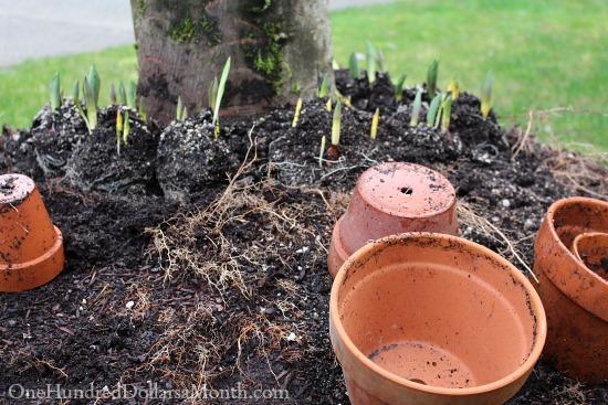 terra cotta pots planting tulips