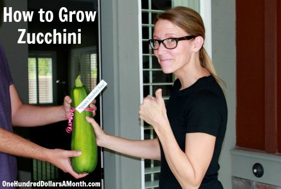 how-to-grow-zucchini
