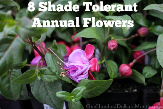 8 Shade Tolerant Annual Flowers   One Hundred Dollars a Month 8 Shade Tolerant Annual Flowers