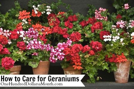 How-to-Care-for-Geraniums
