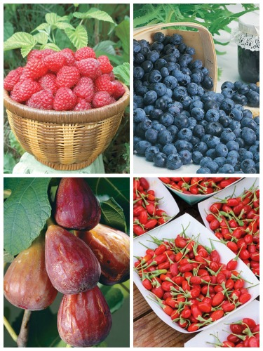buy blueberry plants online