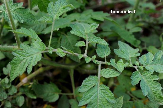 tomato laterals1
