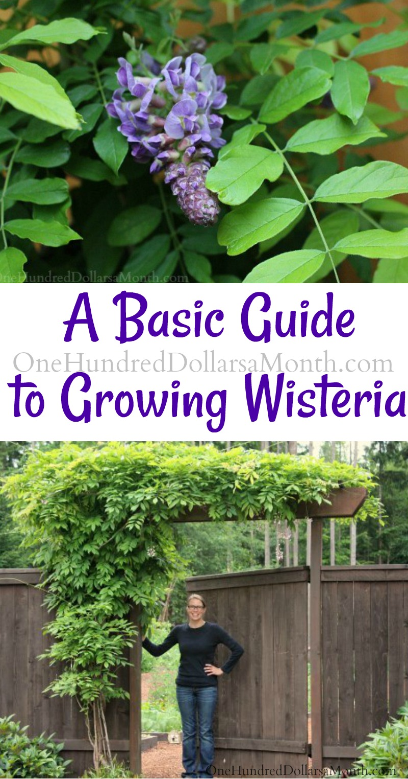 Basic Guide To Growing Wisteria One Hundred Dollars A Month