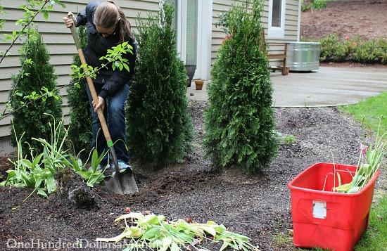 planting tulip bulbs