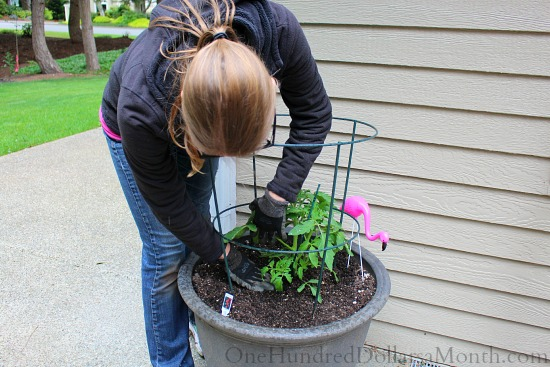 potting tomato plants