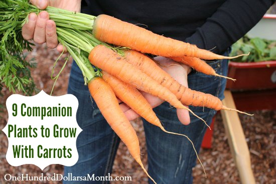 9 Companion Plants to Grow With Carrots