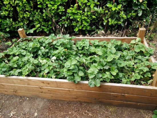 strawberries growing in a raised garden bed