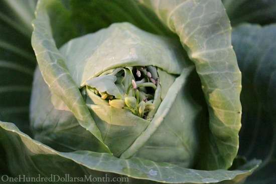 cabbage going to seed