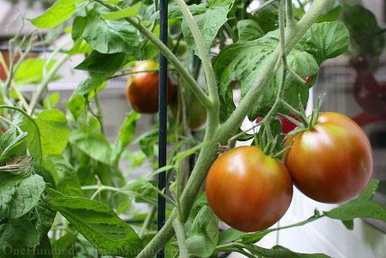 japanese black trifele tomatoes