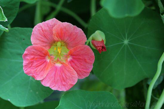 pink nasturtium flower