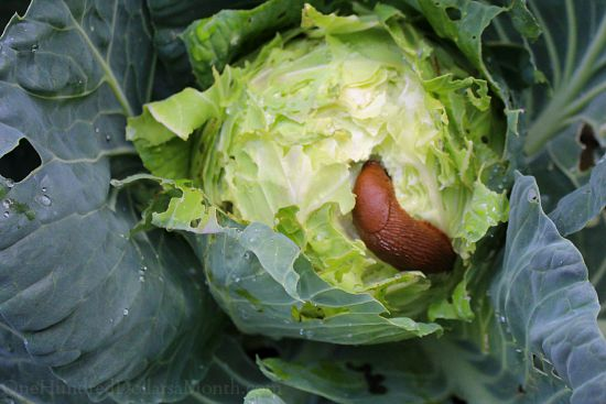slug eating cabbage
