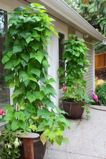green bean tower