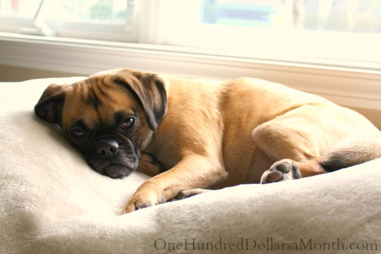 lucy-the-puggle-dog5