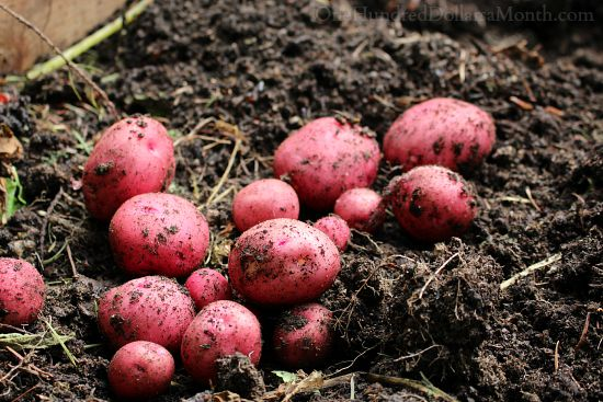 red new potatoes