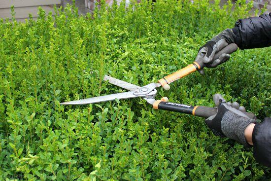 trimming boxwood hedges