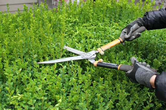 trimming boxwood hedges