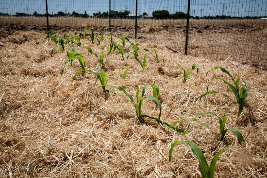 corn-growing-in-a-field