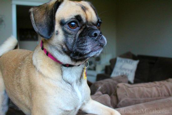 lucy puggle dog