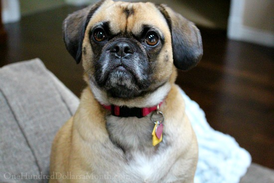 lucy the puggle dog
