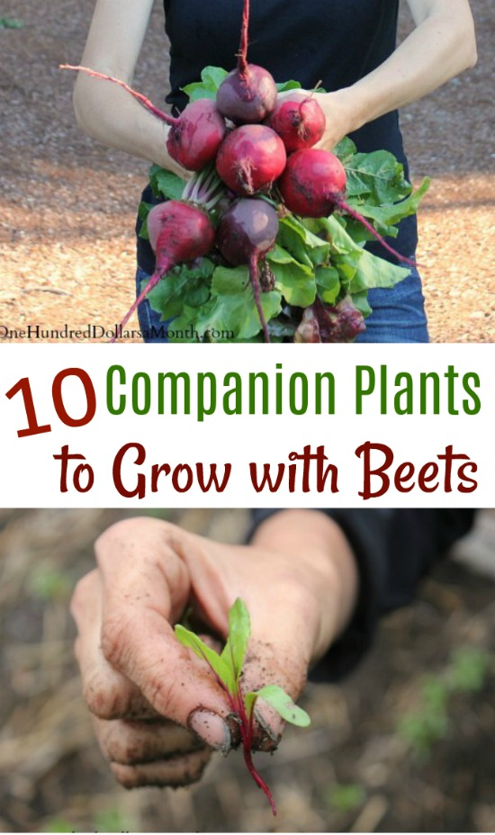 10 Companion Plants To Grow With Beets One Hundred Dollars A Month