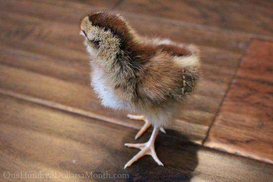 Welsummer chick