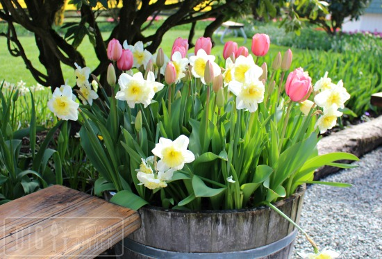 container garden tulips daffodils