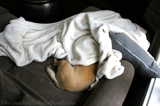 lucy the puggle dog sleeping