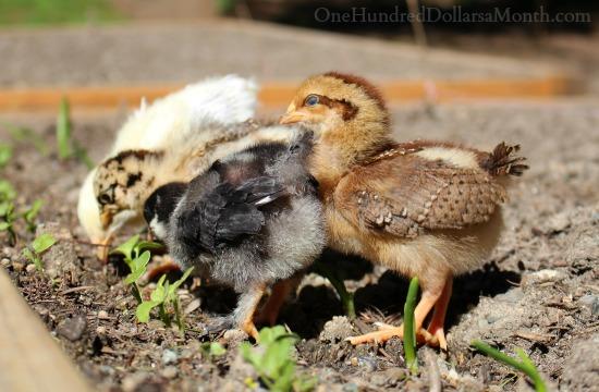 baby chicks in garden