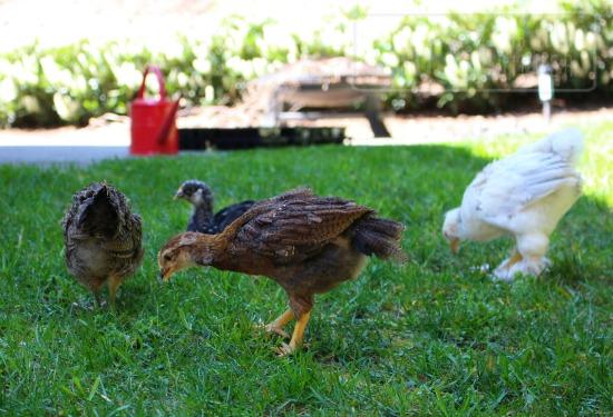 chicks in garden