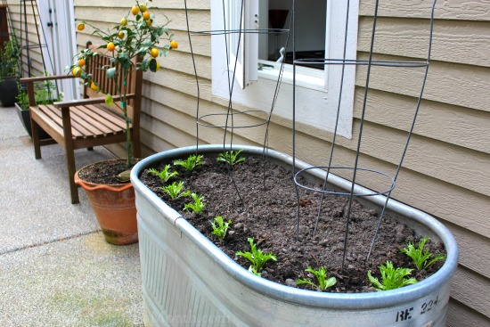 container gardening lettuce