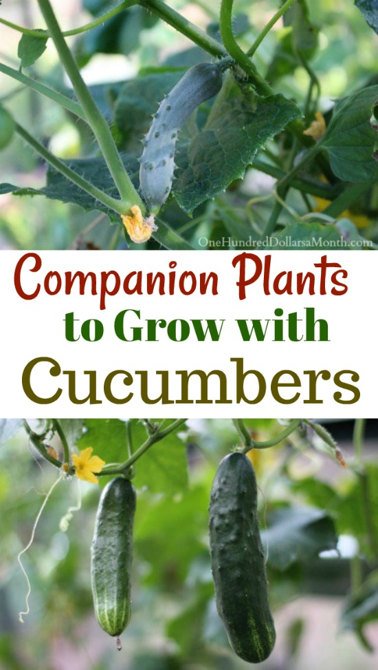9 Companion Plants To Grow With Cucumbers One Hundred Dollars A