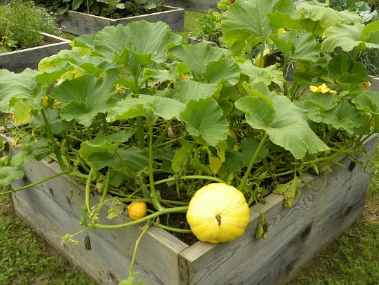 pumpkins growing in raised garden beds