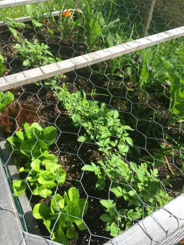 chicken wire over lettuce