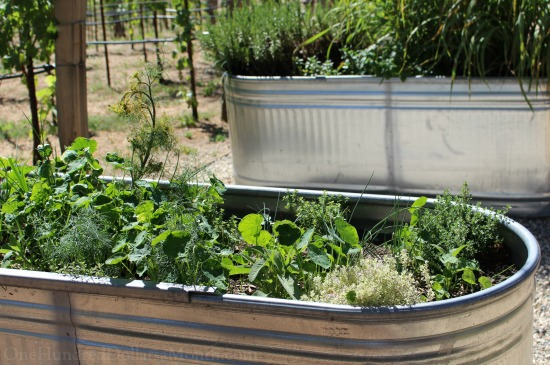 growing herbs in stock tanks