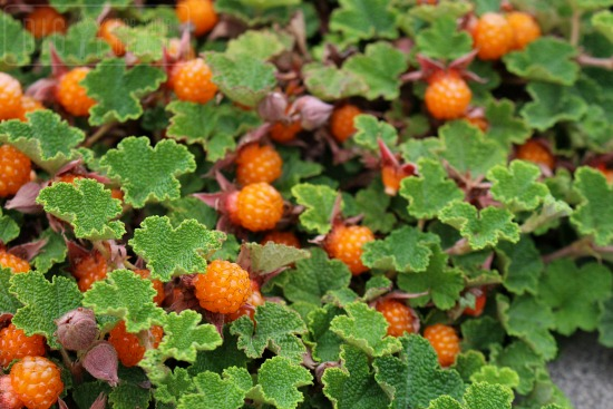 orange ground berries trailing