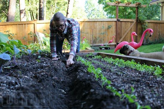 planting-garlic