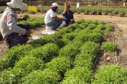 Expondrán sobre stevia en seminario webinar internacional