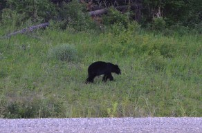 Bears along the road