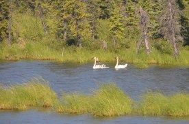 Trumpeter swans with their kids