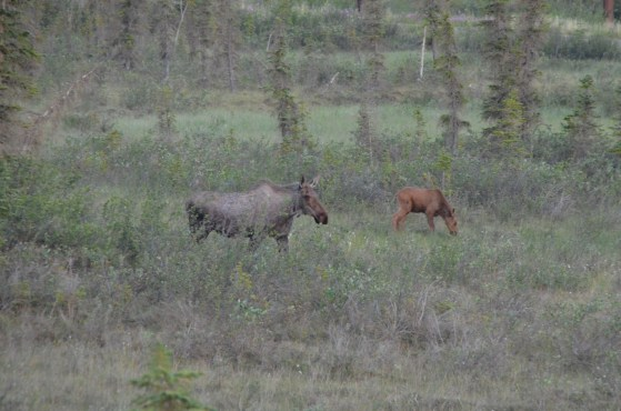 Mama moose and her calf were looking for food and on the move.