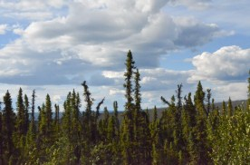Black Spruce trees grow in shallow soil atop permafrost.