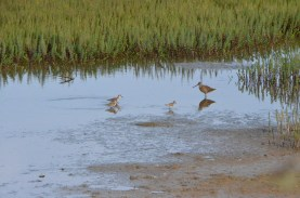 Shorebirds still doing their thing.