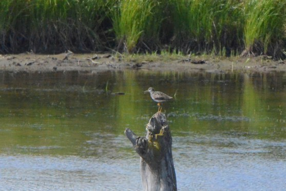 "I think Linda said ""Lesser yellowlegs""."