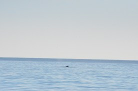 Dolphin, we saw them at a distance, hard to get a well timed shot, and video was hard to aim because the screen was dim and the day bright.