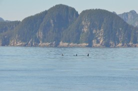 Apparently this was quite a treat for the locals, Orcas aren't frequently seen here.